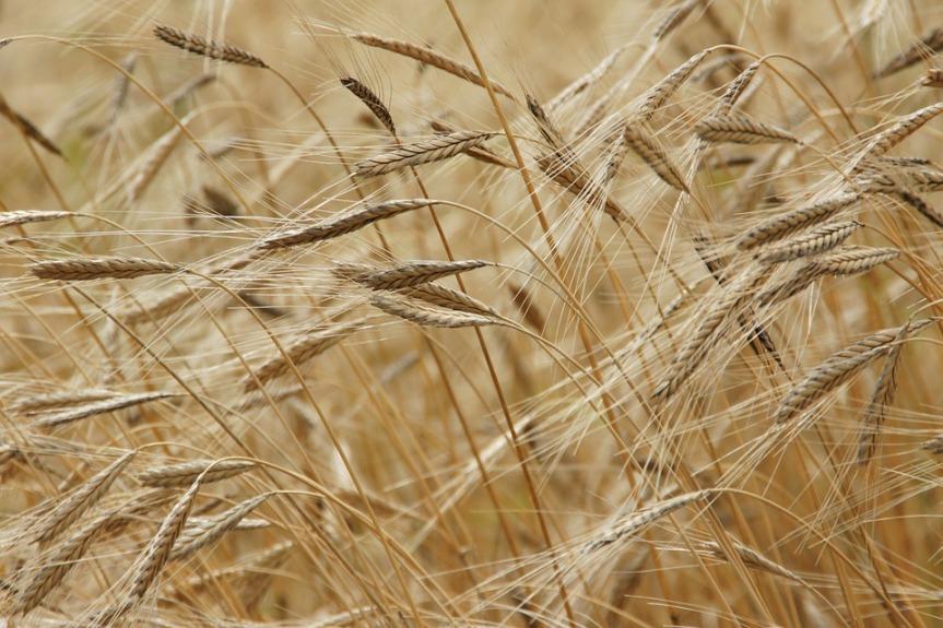 einkorn grain