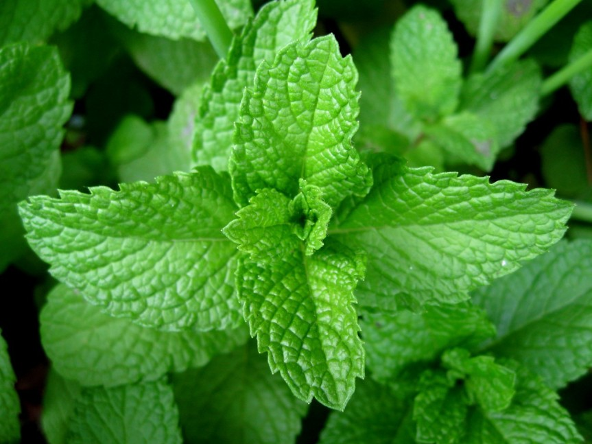 peppermint-leaf