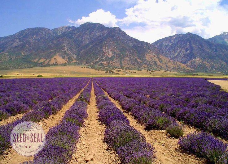 yl-lavender-field